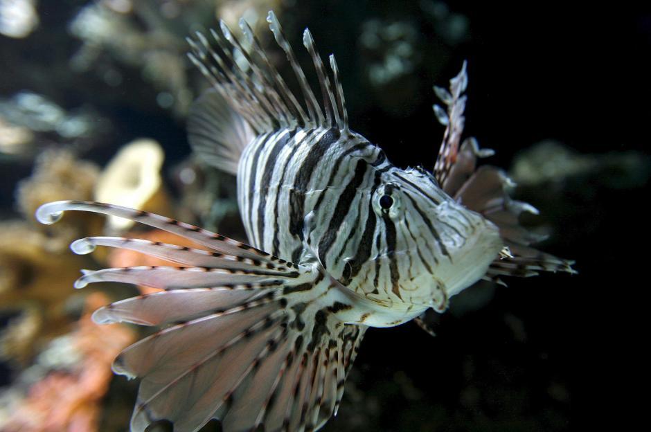 Es un pez muy agresivo en cuanto a sus actos alimenticios. Come todas las larvas, huevos o pececitos pequeños, de todas las especies..., explica a Efe el ecologista Fernando Secaira.