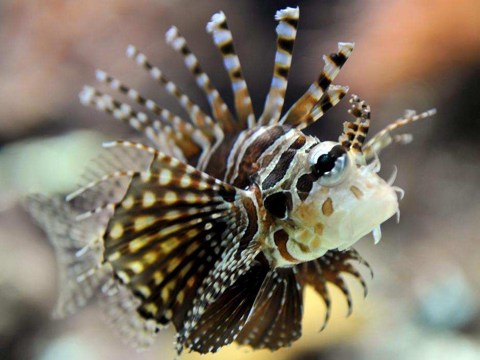 Sin depredadores, desde los años 90 del pasado siglo ha devastado las aguas del Caribe acabando con el 80 % de la biomasa de peces en Bahamas.