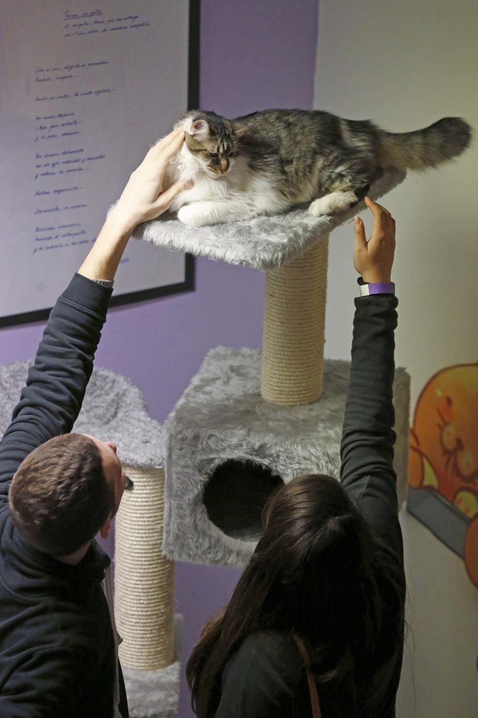 Los clientes disfrutan de la compañía de estos animales y de los beneficios de su ronroneo. (Foto: EFE)