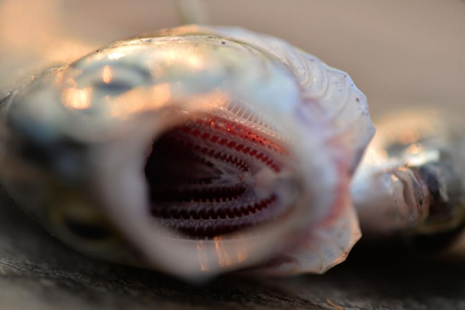 Todo el pescado fresco es vendido en el lugar. (Foto: Wilder López/Soy502)