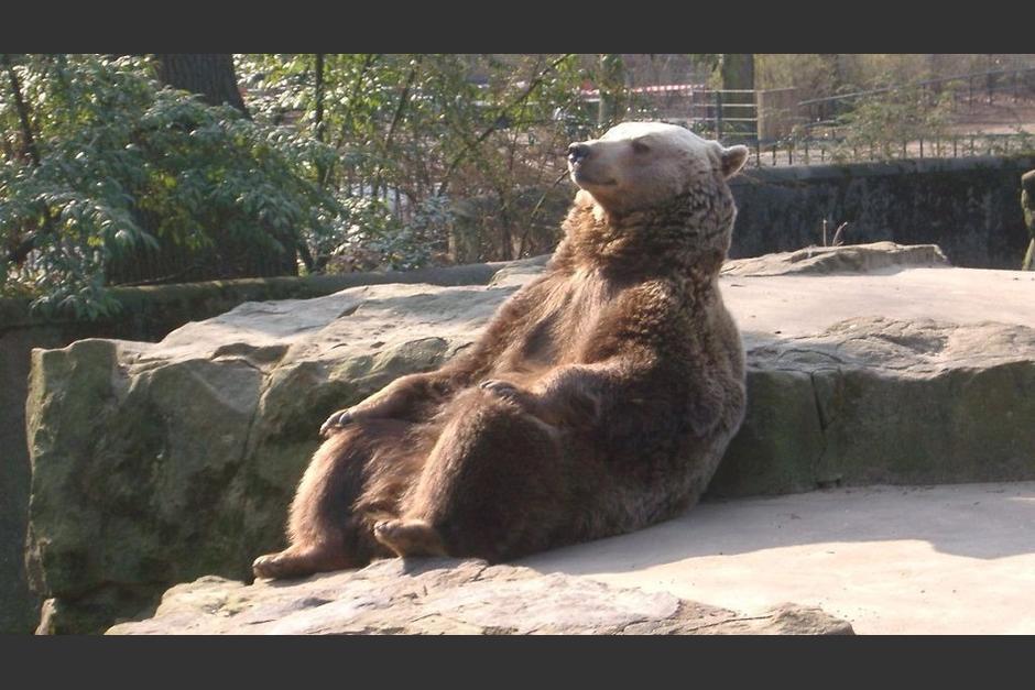 Este oso pardo del zoológico de Berlin se ha hecho muy popular. (Foto: reddit.com)