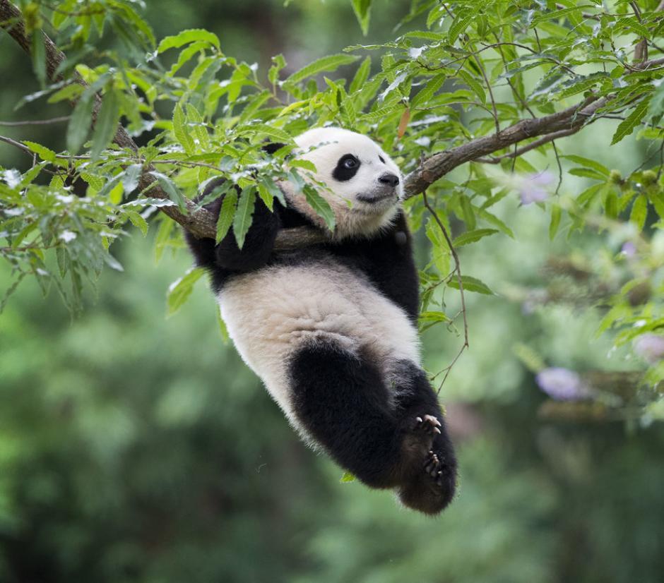 Un pequeño oso panda cuelga de un árbol en su recinto en el Zoológico de Washington. (Foto: www.huffingtonpost.com)