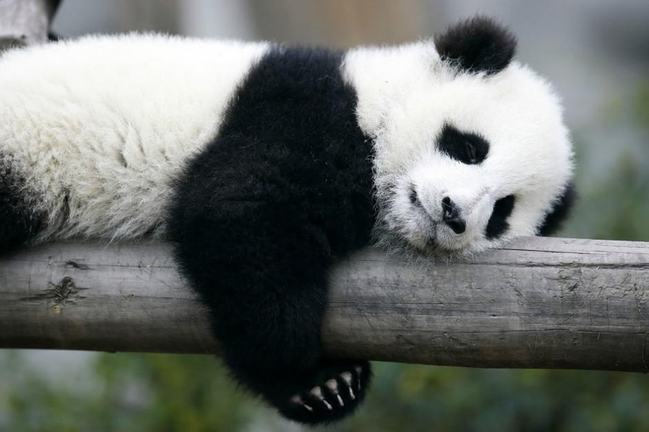 El video de un oso panda que disfruta de rodar en una colina fue compartido por el canal de YouTube iPanda. (Foto: www.huffingtonpost.com)