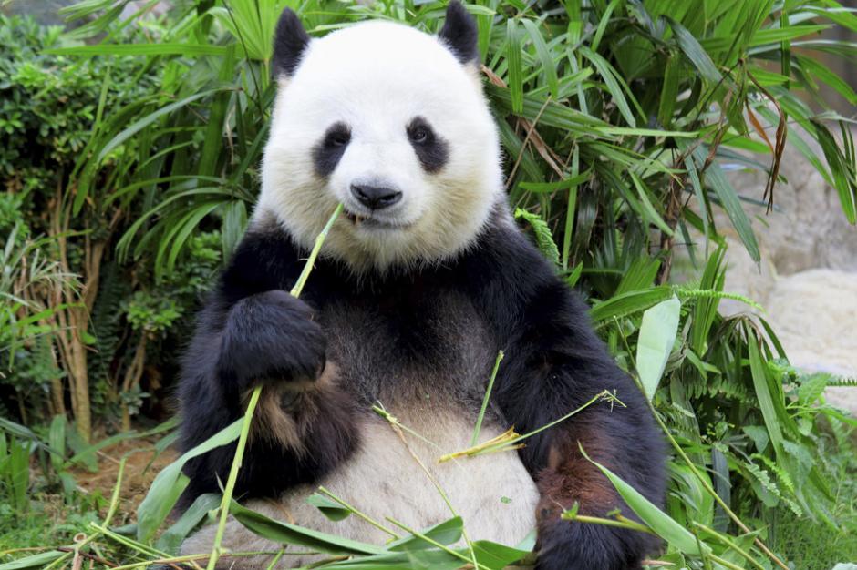 Un oso panda come bambú en una Reserva Natural. Foto: www.huffingtonpost.com)