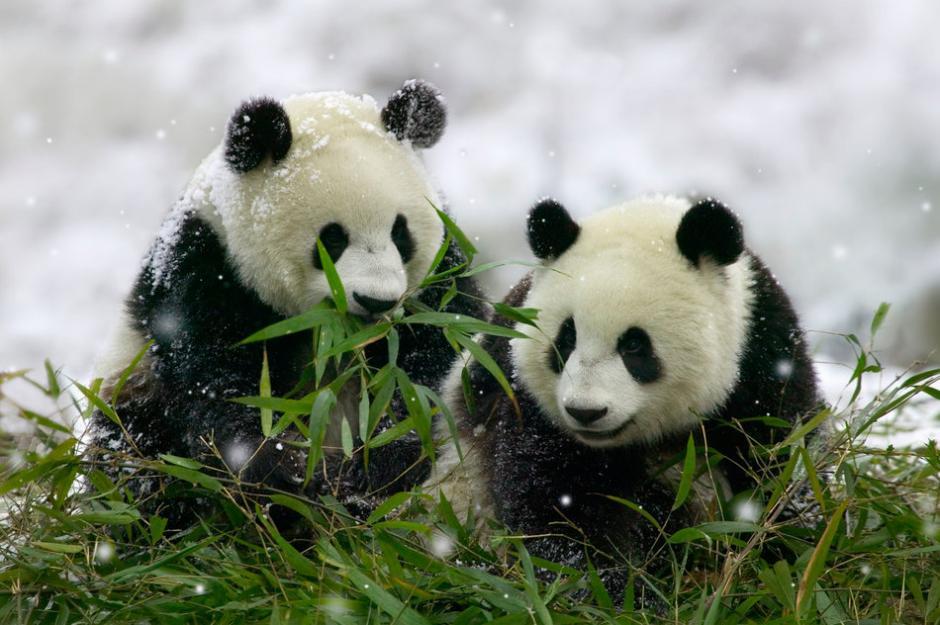 Dos osos pandas disfrutan de jugar en la nieve en una Reserva Natural. (Foto: www.huffingtonpost.com)