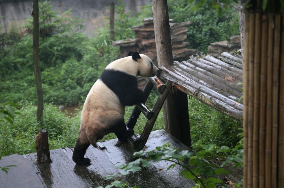 Un oso panda se sube en una plataforma en Sichuan provincia de China. (Foto: Getty images)