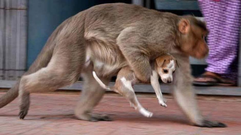 El mono carga por todos lados al perrito. (Foto: infobae)