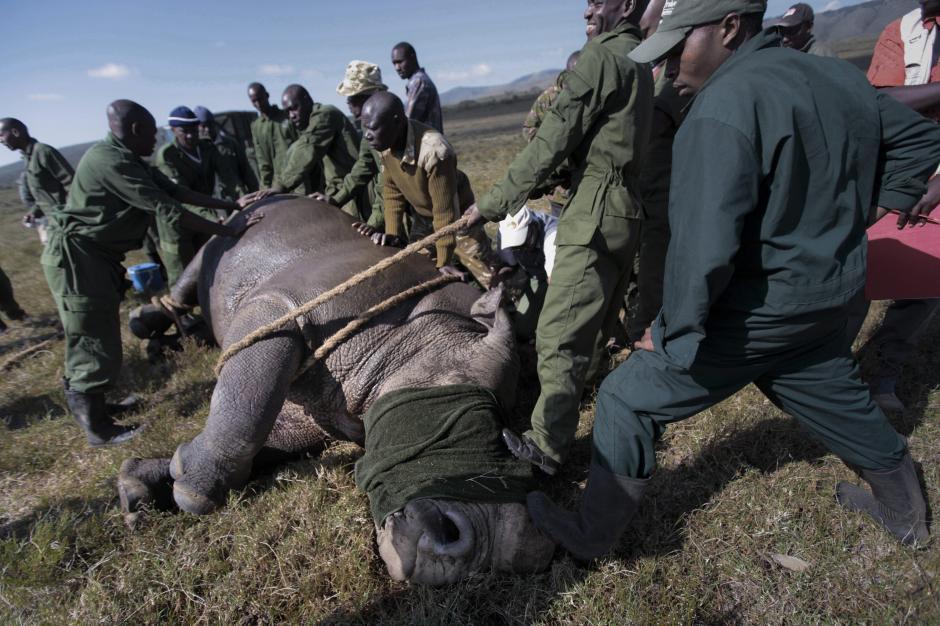 Un batallón de paracaidistas del Ejército británico ha entrenado a soldados kenianos para intensificar la lucha contra la caza furtiva de elefantes y rinocerontes en el país africano. Algunos de estos mamíferos están en peligro de extinción debido a la caza de los furtivos para arrancar sus cuernos y colmillos, a los que atribuyen propiedades medicinales y afrodisíacas en países de Asia, destino de muchos de estos cargamentos ilegales. (Foto: Dai Kurokawa/EFE)