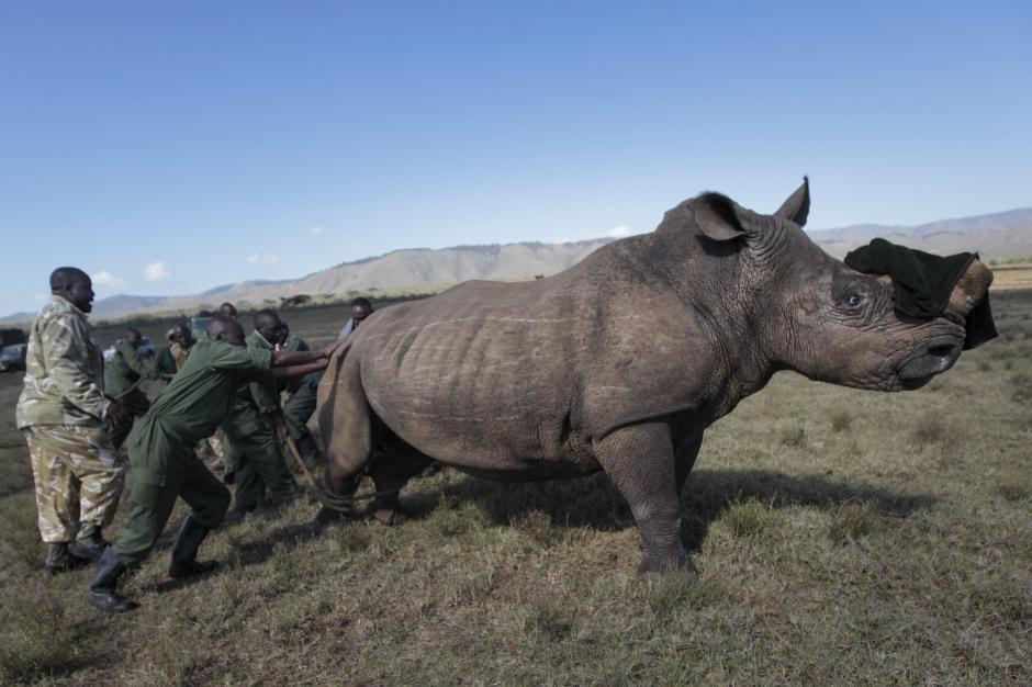 Soldados del Servicio de Conservación de la Flora y Fauna de Kenia (KWS) y veterinarios empujan a un rinoceronte sedado para instalar un dispositivo de localización (GPS) durante unas maniobras de entrenamiento para combatir la caza furtiva, cerca de Kajiado, al norte de Nairobi (Kenia). (Foto: Dai Kurokawa / EFE)
