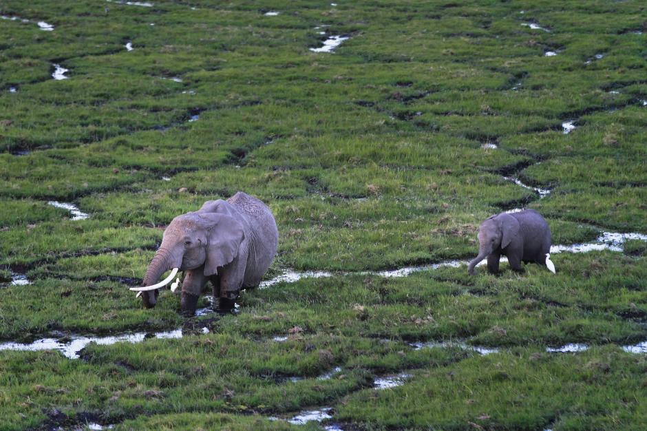Dos elefantes avanzan por el Parque Nacional Amboseli, al sur de Kenia, durante el atardecer del pasado 9 de octubre de 2013. (Foto: Dai Kurokawa/EFE)