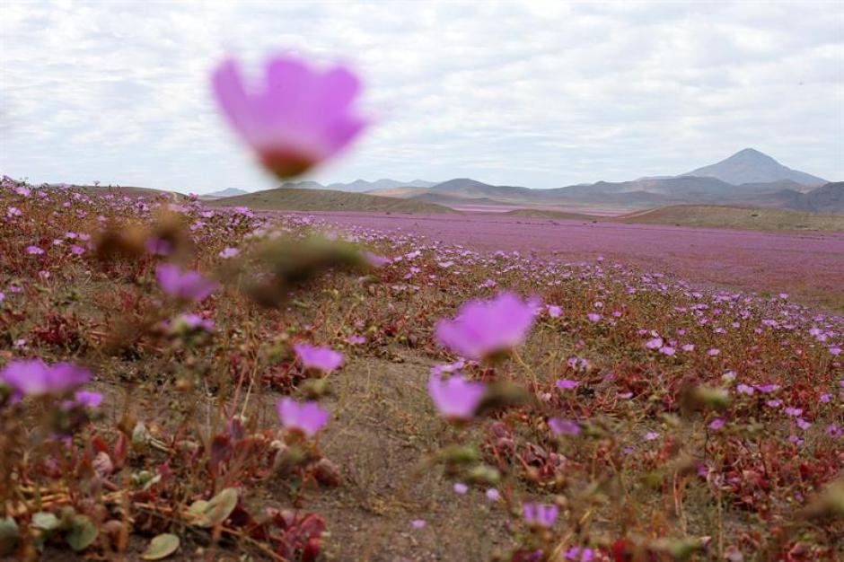 Las flores han pintado de color rosa el desierto en Chile. (Foto: EFE)