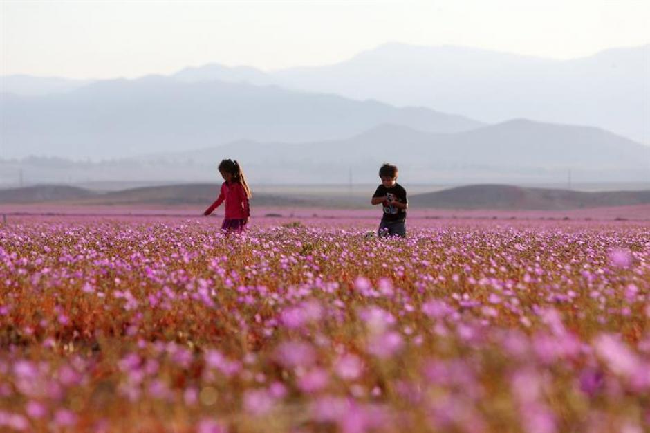 Fotografía del 21 de octubre de 2015 del árido desierto de Chile que cada cinco o siete años se transforma en una alfombra de flores. (Foto: EFE)