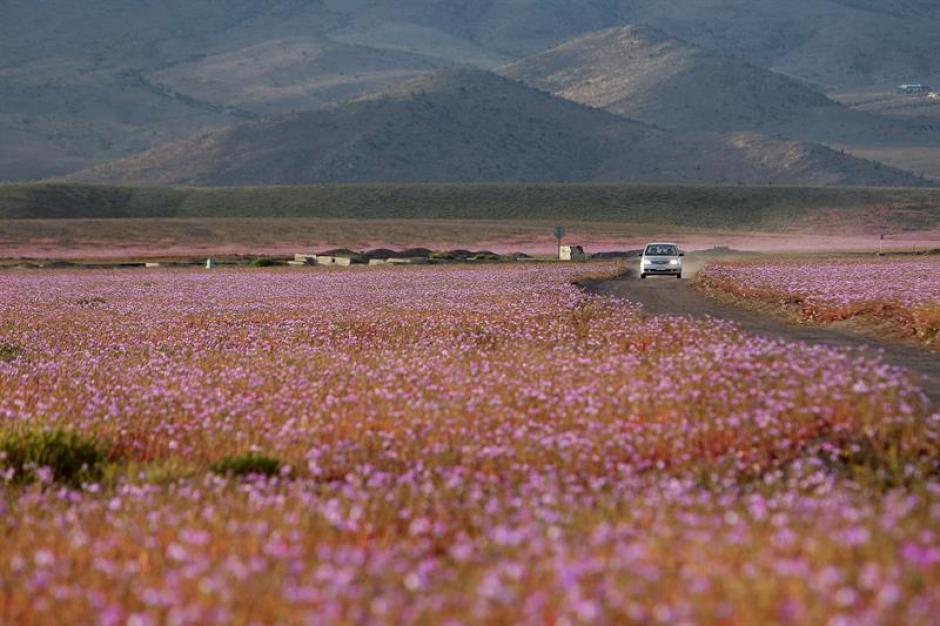 Las flores de color malva por las abundantes precipitaciones que han mojado la hostil tierra norteña del país estos últimos meses. (Foto: EFE)