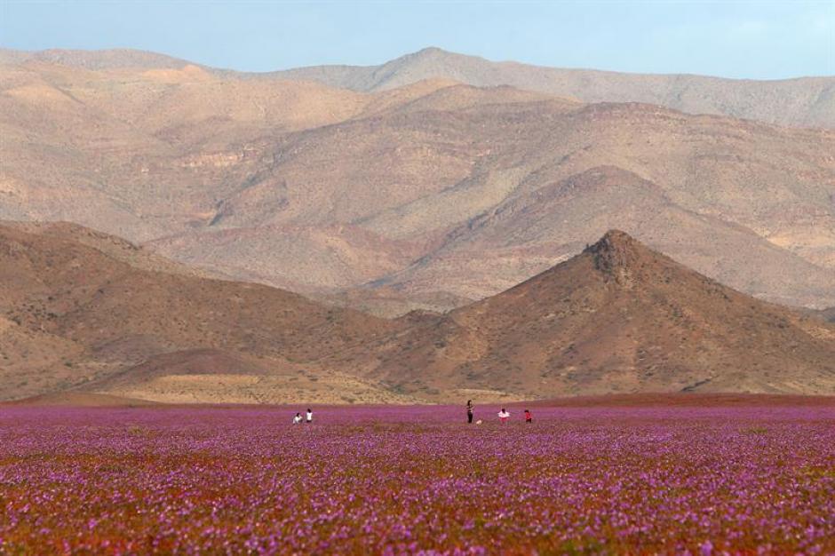 En el norte de Chile se ubica el desierto que reflorece cada cinco o seis años. (Foto: EFE)
