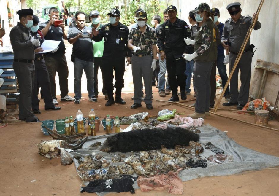 Responsables de Fauna y policías revisan los cadáveres de varias crías de tigre durante el registro al Templo del Tigre en Tailandia. (Foto: EFE)