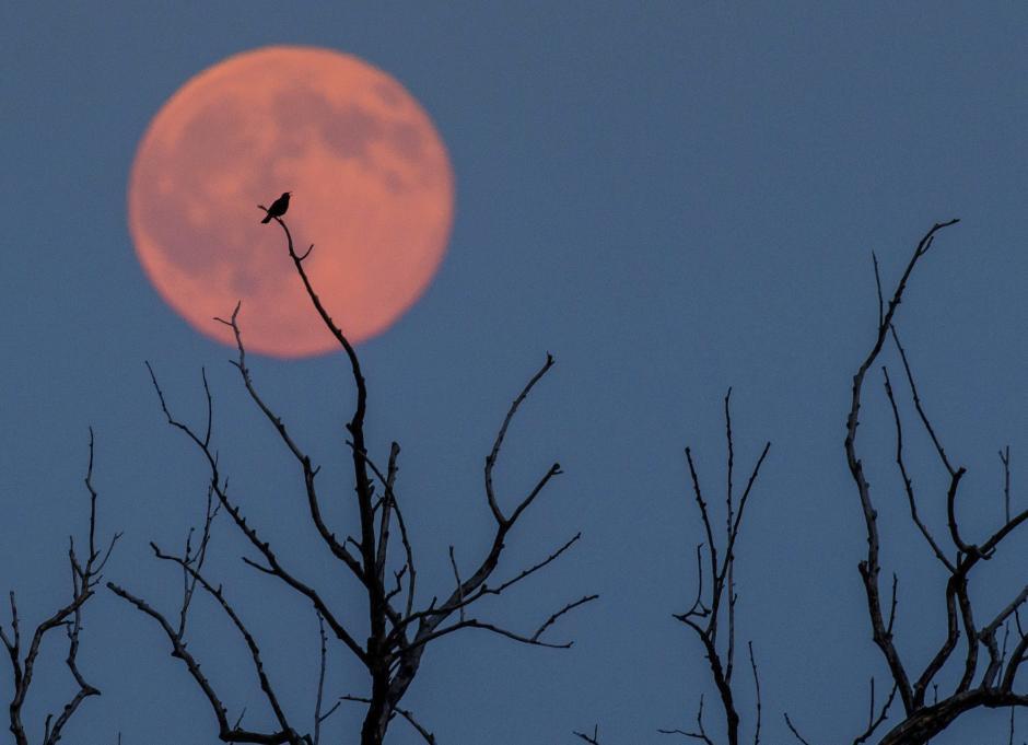 Un pájaro sobre una rama ante la luna llena, iluminada con un tono ligeramente rojizo, en Jacobsdorf, cerca de Fráncfort del Oder, Alemania.  (Foto: EFE/Patrick Pleul)