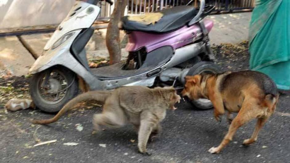 El mono defiende a su mascota de posibles ataques de otros animales. (Foto: infobae)