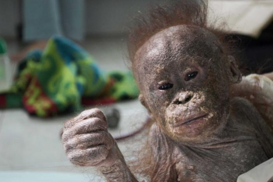 Gito el bebé orangután que fue abandonado. (Foto: International Animal Rescue)