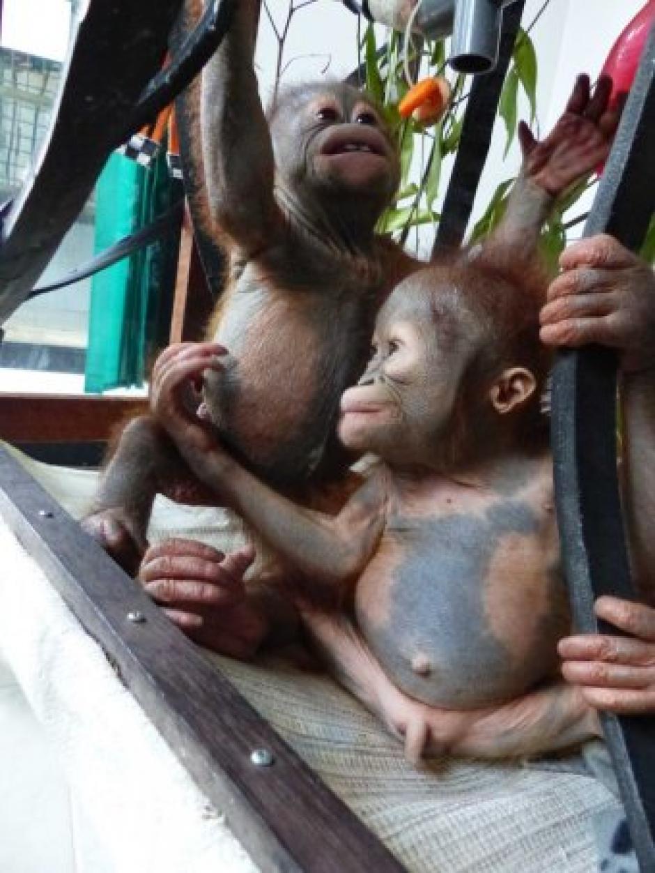 Gito fue rescatado en Indonesia. (Foto:International Animal Rescue)