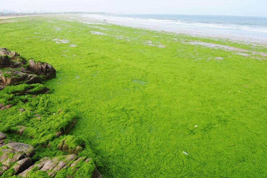 Las autoridades locales han hecho lo posible para limpiar las playas, ya que las algas pueden afectar la vida de los peces. (Foto: AFP)