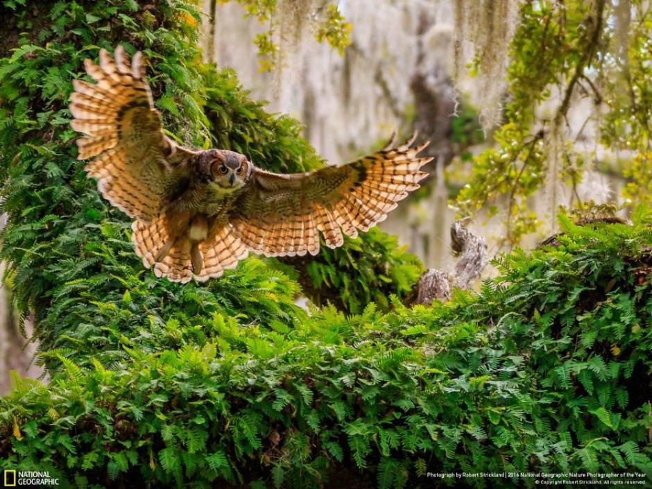 Momento en que un búho cornudo regresa a su nido. (Foto: Robert Strickland/National Geographic)