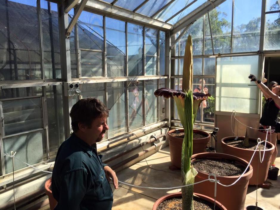 La planta surgió de una semilla donada en 2006, creció en promedio unos 20 centímetros al día en las últimas semanas antes de florecer. (Foto: Botanic Gardens of South Australia)