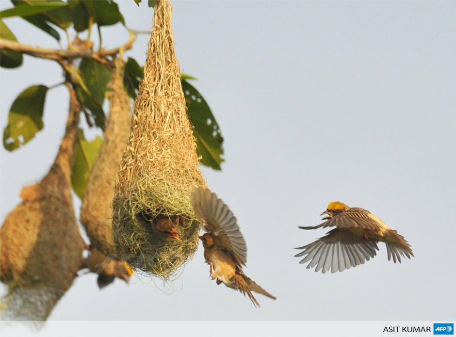 Pájaros tejedores vuelan cerca de su nido en las afueras de la ciudad oriental India de Bhubaneswar. Los Baya Weavers se encuentran en todo el subcontinente indio y Asia Sur-Oriental. (Foto: AFP)Foto: AFP: Asit Kumar
