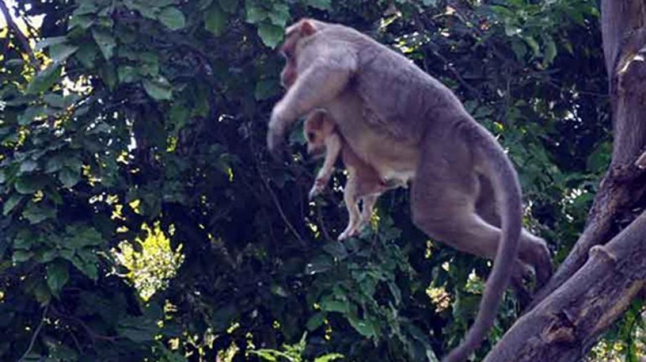 El mono incluso pasea al perro sobre los árboles. (Foto: infobae)