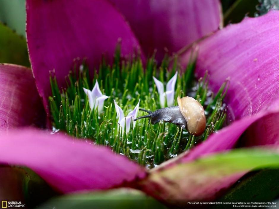 Este caracol se abre camino entre la corola de una bromelia. (Foto: Samira Qadir/National Geographic)