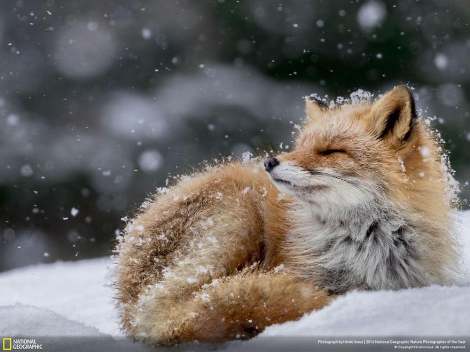 Este zorro parece disfrutar de un baño de nieve. (Foto: Hiroki Inoue/National Geographic)