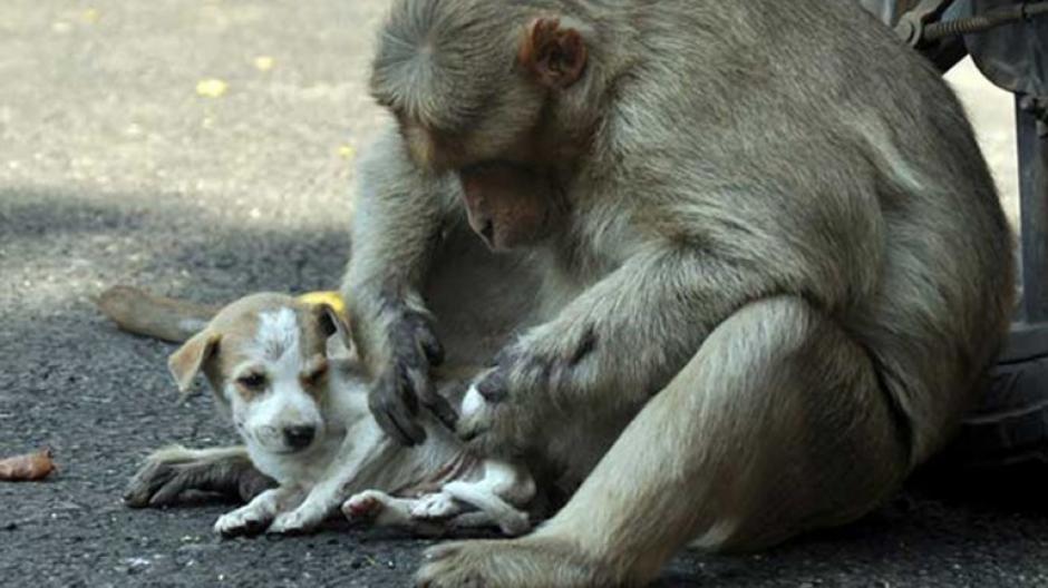 El mono también se encarga del aseo de su pequeña mascota. (Foto: infobae)