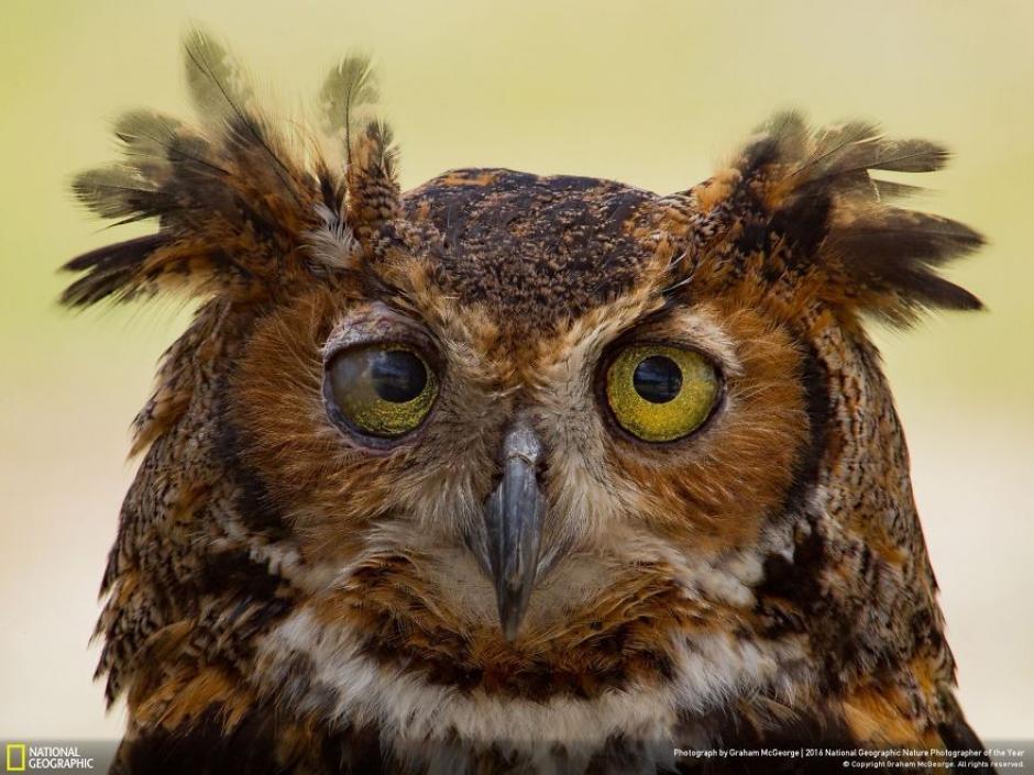 Retrato de un búho cornudo el cual padece de una enfermedad en el ojo derecho. (Foto: Graham McGeorge/National Geographic)