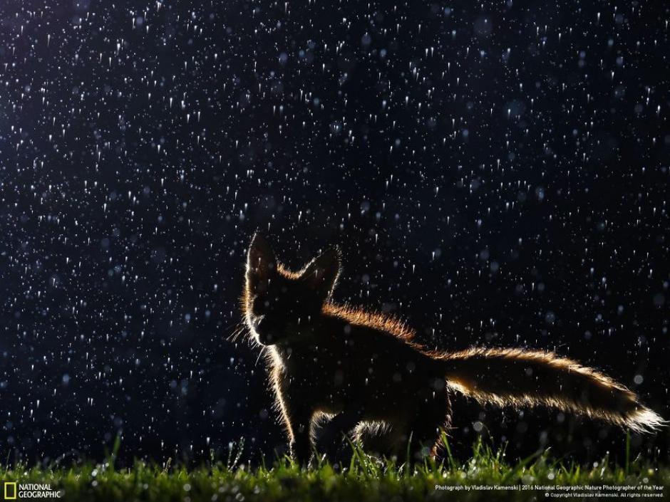 Un zorro captado durante una noche de lluvia. (Foto: Vladislav Kamenski/National Geographic)