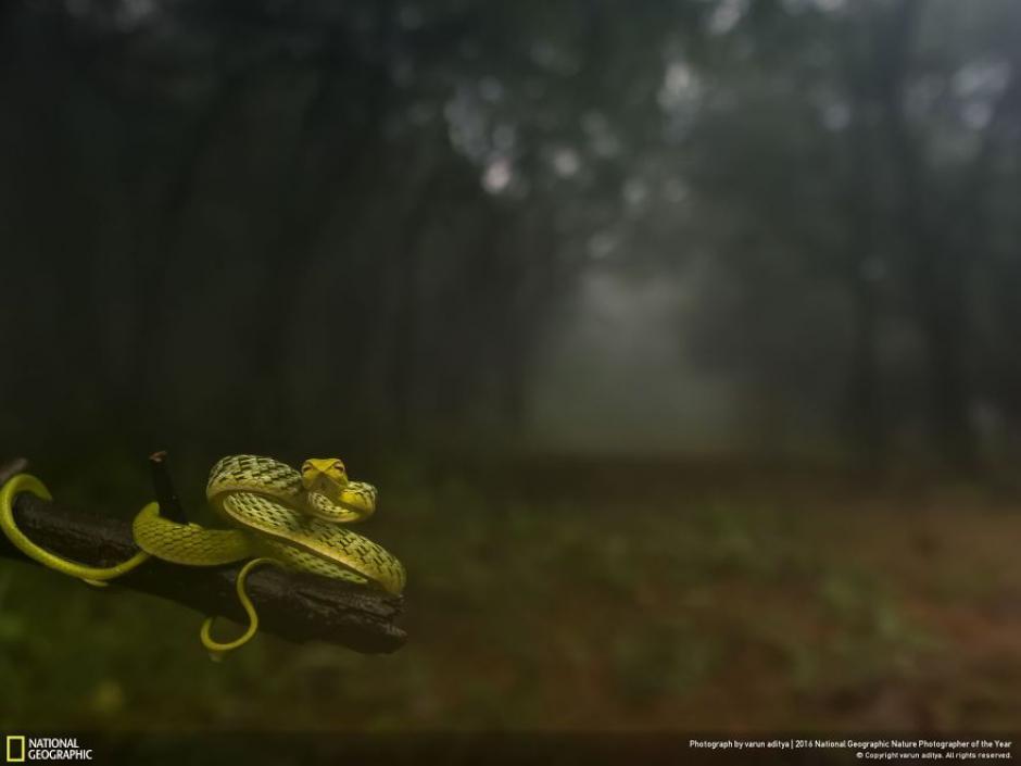Esta serpiente posa para el lente en un bosque nuboso. (Foto: Varun Aditya/National Geographic)