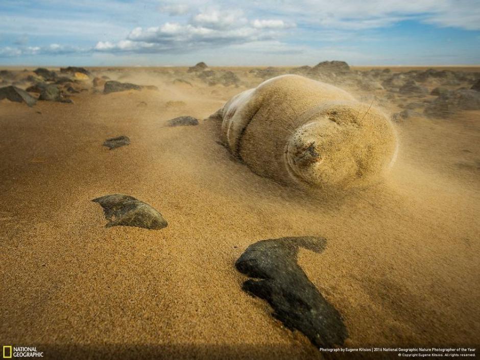 Una foca gris atrapada en una tormenta de arena. (Foto: Eugene Kitsios/National Geographic)