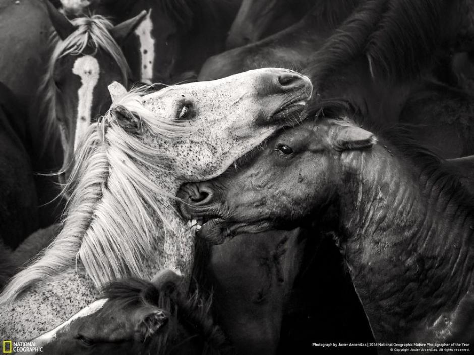 Caballos salvajes de la región de Sabucedo, España. (Foto: Javier Arcenillas/National Geographic)