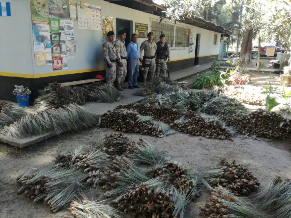 El decomiso se realizó durante un operativo en Tecpán, Chimaltenango. (Foto: Conap)