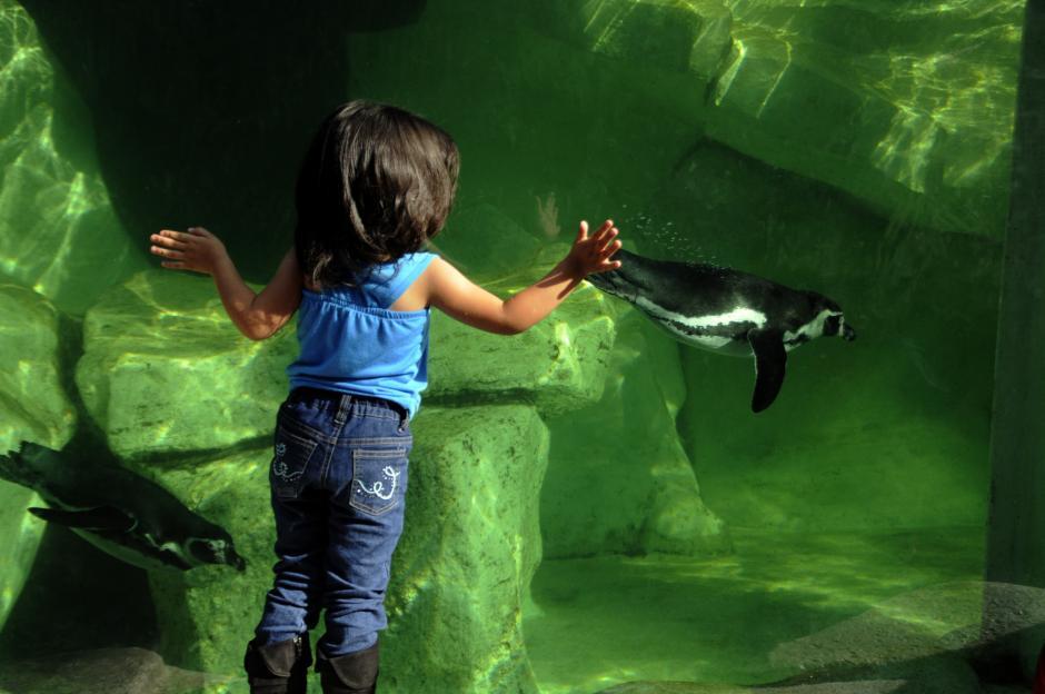 Una niña ve a un pinguino en el zoo