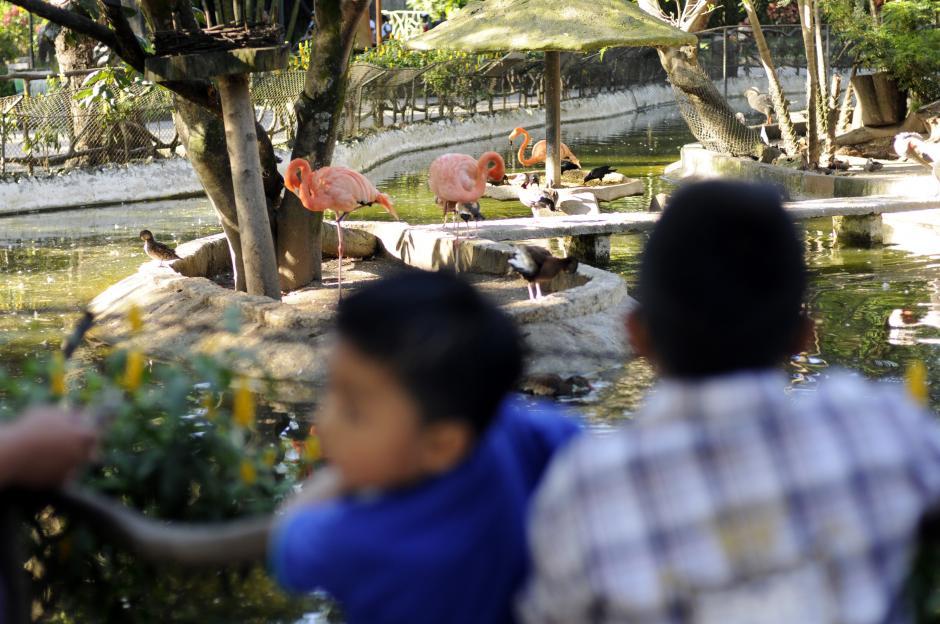 Los flamingos y su peculiar caminar atrajeron a los pequeños a su recinto.