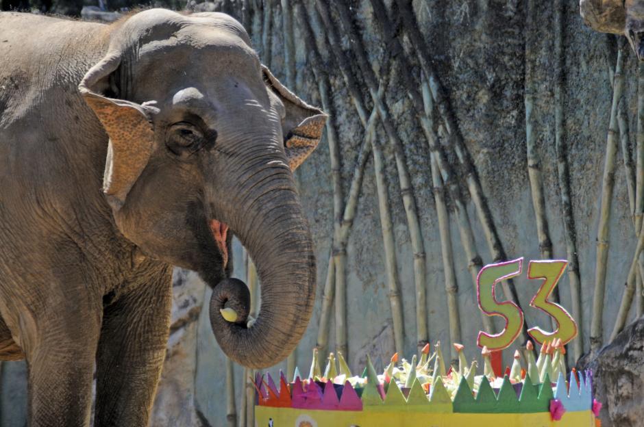 """La elefante """"Trompita"""" cumplió 53 años y lo celebró ante cientos de sus fánaticos. (Esteban Biba/Soy502)"""