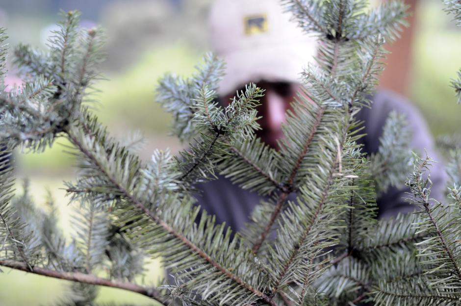 Un artesano corta ramillas de pinabete para hacer coronas. En un momento estuvo prohibido, ahora ya se pueden hacer arreglos con ramillas de pinabete de plantaciones registradas. (Foto: Esteban Biba/Soy502)