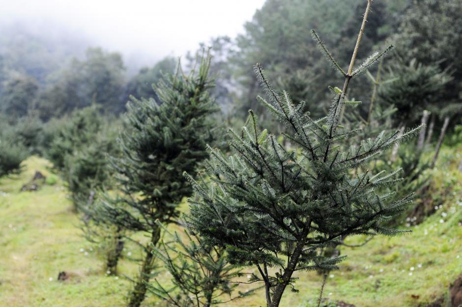 Plantación registrada de Pinabete en la Finca Caleras Chichavac, Tecpán, Chimaltenango. (Foto: Esteban Biba/Soy502)