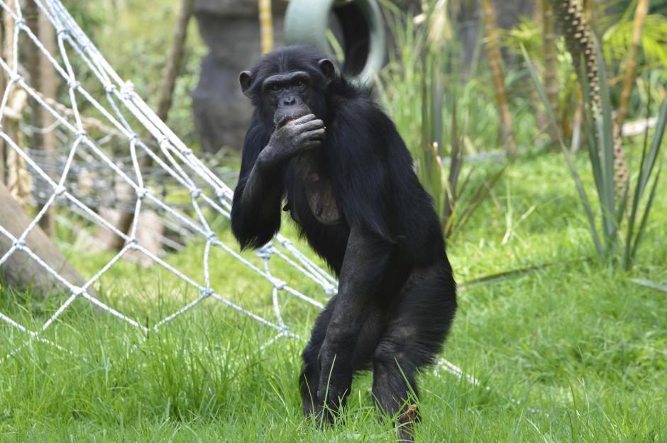 Durante la presentación a los medios los chimpancés reconocieron el recinto. (Foto: Alejandro Ortíz/Soy502)