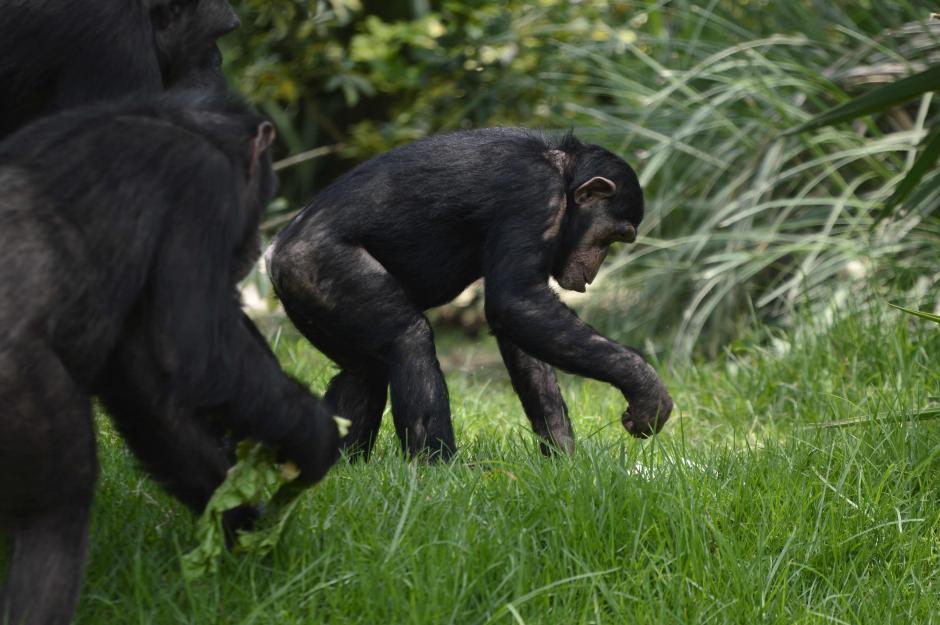 Los chimpancés dedicaron parte de la mañana a reconocer el recinto. (Foto: Alejandro Ortíz/Soy502)