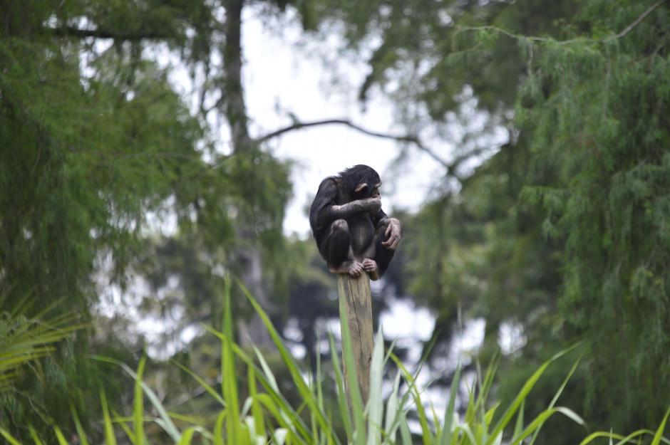 El recinto permite que los chimpancés se sientan en un ambiente natural. (Foto: Alejandro Ortíz/Soy502)