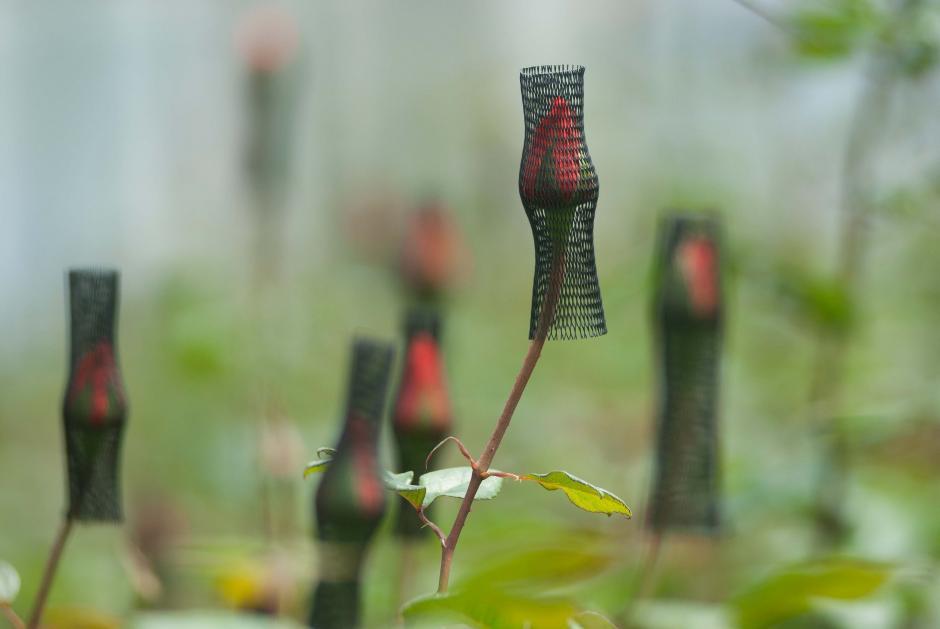 Más de 150 personas trabajan directamente en las rosas en la finca Floresta Corps; se encargan de que las plantas crezcan en perfecto estado (Foto: Jesús Alfonso/Soy502)