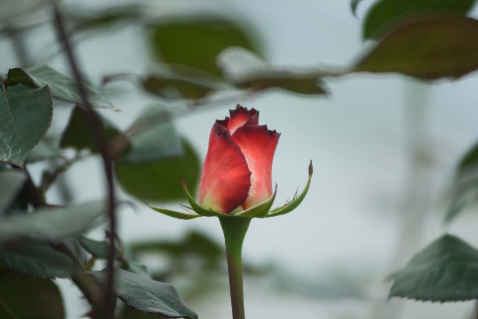 La finca Floresta Corps produce 7 millones de rosas al año, para esta temporada del Día de San Valentín prevén comercializar más de 500 mil (Foto: Jesús Alfonso/Soy502)