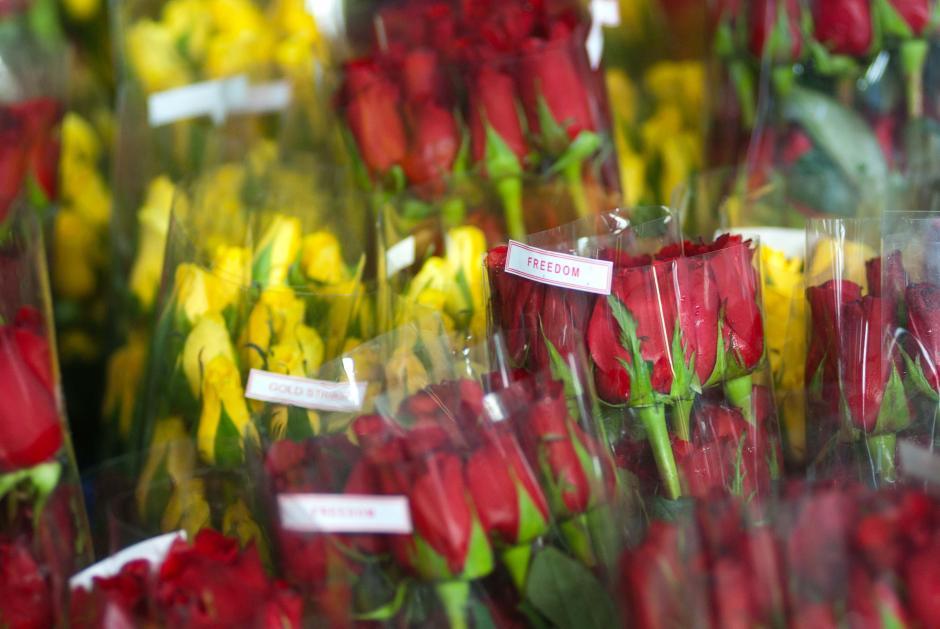 La finca produce 38 especies de rosas durante todo el año; sin embargo, durante estas fechas la preferencia es por dos. (Foto: Jesús Alfonso/Soy502)