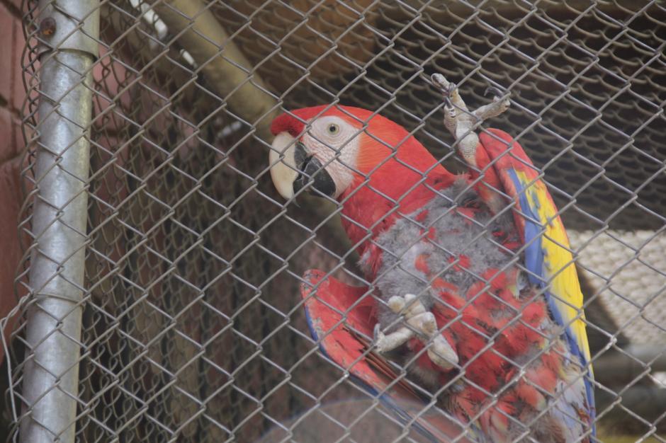 Las aves son cuidadas en jaulas mientras se está a la espera de cuál será su futuro. (Foto: Fredy Hernández/Soy502)