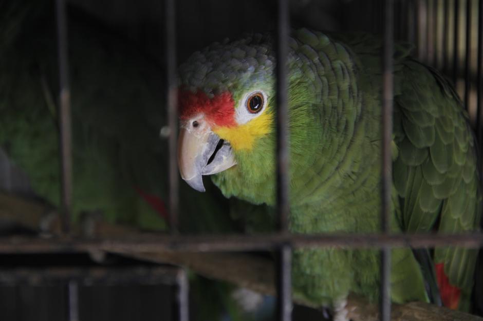 Los expertos recomiendan no tener animales salvajes como mascotas, ya que algunos se pueden volver agresivos cuando son adultos. (Foto: Fredy Hernández/Soy502)